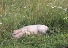 Piglet in the grass royalty free stock photos