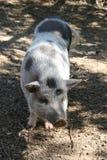 Piglet Stock Photos