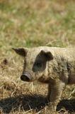 Piglet hairy ochre. Domestic animals themes stock image