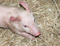 Piglet on hay royalty free stock images