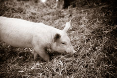 Piglet in hay looking for food Stock Image