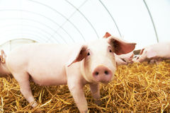 Piglet on hay and straw at pig breeding farm Stock Photos