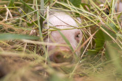 Piglet hiding in grass Royalty Free Stock Photography