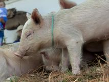 A piglet among his siblings royalty free stock photography