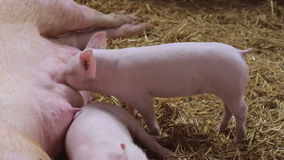 Piglet Hungry. Hungry Pigles Sucking Sow at Farm stock video footage