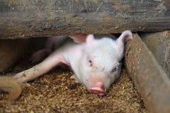 Piglet lies down Stock Image