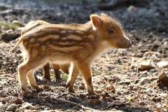Piglet. Little striped baby wild piglet in natural habitat Stock Photos