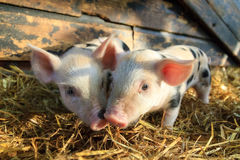 Piglet love. Very cute little newborn piggy pigs sus scrofa in a petting zoo in the Netherlands royalty free stock photo