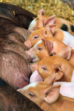 Piglet lunch Royalty Free Stock Photos