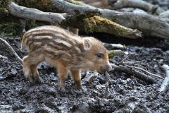 Piglet in mud Royalty Free Stock Images