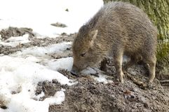 Piglet peccary. Royalty Free Stock Photography