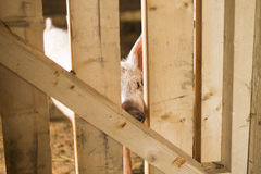 Piglet Peering Out the Sty Stock Photo