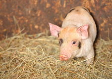 Piglet pig. Young piglet / pig on hay with copy space royalty free stock photos