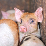 Piglet pig Stock Image