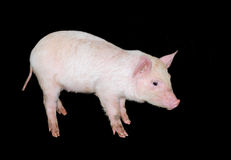 Piglet pig isolated. Pink cute pig piglet isolated against black background, farm livestock stock images