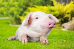 Piglet. Pig outdoor closeup snout meadow dirty stock photos