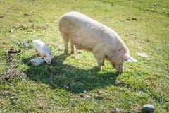 Piglet and pig walking in field. Cute piglet and dirty pig walking on green grass on sunny day in meadow stock photos