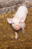 Piglet pig Royalty Free Stock Photography