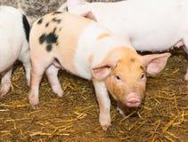 Piglet pig Royalty Free Stock Image