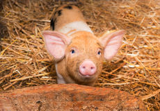Piglet pig Stock Photos