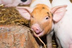 Piglet pig Stock Images