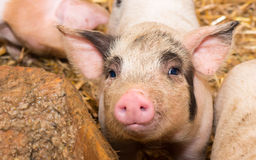 Piglet pig Royalty Free Stock Photos