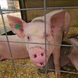 Piggy pig indoor in a farm barn pen closeup. Piglet piggy pig indoor in a farm barn pen closeup stock image