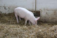 Piglet in the Pigpen at Amish Village Stock Photography