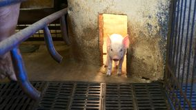 Piglet in pigpen. Small young piglet in pigpen with heat lamp stock video footage