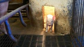 Piglet in pigpen stock video footage