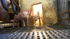 Piglet in pigpen stock video