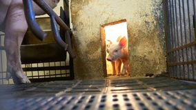 Piglet in pigpen. Small young piglets in pigpen near heat lamp stock video