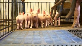 Piglet in pigpen. Small young piglets in pigpen near the mother pig stock footage