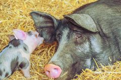 Piglet play with an ear from it´s mother pig. Piglet play with an ear from its mother pig on straw royalty free stock images