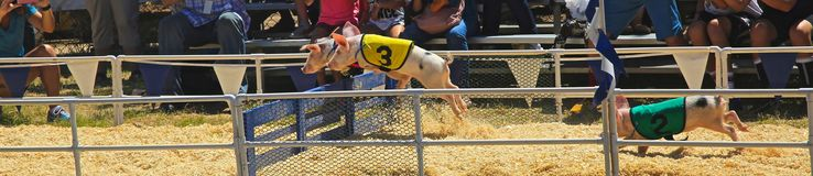 Piglet race. Cute little baby piglets race to the finish line jumping over obstacles on the course stock photos
