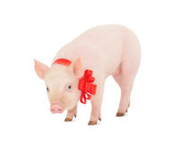 Piglet with a red ribbon Stock Images
