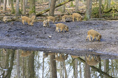 Piglet reflection. Beautiful wild boars (Sus Scrofa) in national park Het Aardhuis at the Hoge Veluwe in the Netherlands stock photo