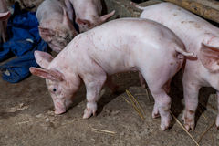 Piglet running around in the paddock after feeding finished. Royalty Free Stock Photos