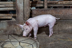 Piglet running around in the paddock after feeding finished. Stock Images