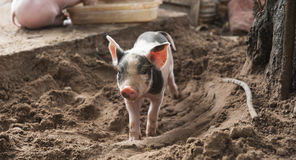 Piglet in the Sand Royalty Free Stock Images