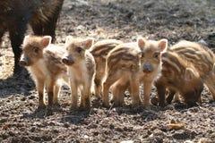 Piglet siblings Royalty Free Stock Photos
