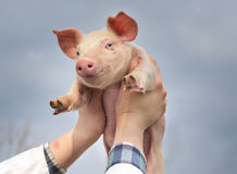 Piglet in the sky. White piglet in girl's hands raised in the sky royalty free stock photography