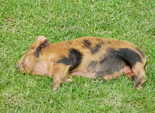 Piglet sleeping Stock Photos