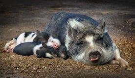 Piglet sleeping next Royalty Free Stock Photo