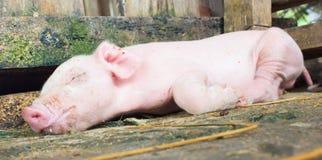 Piglet sleeping. Pink Piglet sleeping Stock Photo