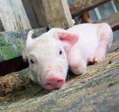 Piglet sleeping. Pink Piglet sleeping Royalty Free Stock Photography