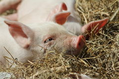 Piglet sleeping Royalty Free Stock Image