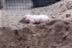 Piglet sleeping. On wet sand in paddock royalty free stock image