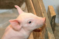 Piglet. Small and Funny Pink Piglet at Pen Fence royalty free stock image