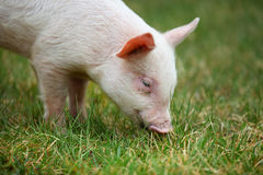 Piglet. Small piglet grazing in the middle of meadow royalty free stock image